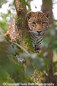 jaguar_03