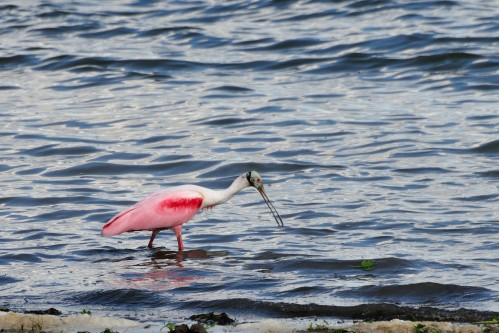 "Belize: Some of the prettiest birds in God's fabulous creation. Photo by Joe Schelling at the blog ""Natural Moments."""