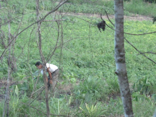 Walked a couple of miles down a bush road Monday evening and heard and saw lots of interesting birds without seeing another human until finally coming upon a nice little farm where this farmer was in his fields with a Central American Power Tool (machete).