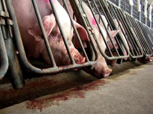Tyson Foods and others have been pressured to stop confining pigs in gestation crates like these. So far, Wally World doesn't seem to give a pig's tail about cruelty to Miss Piggy.