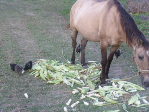 The horse shares the corn with the chicks, which is the neighborly thing to do after all.