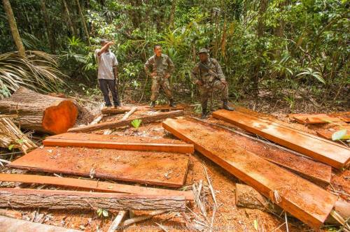 """Tony Rath on the illegal logging he and rangers found: """"This is what illegal logging looks like, #Chiquibul, #Belize. The poachers load the best cuts on horseback, leaving 80% of the mahogany to rot. We encountered 5 more of these crime scenes on the road in - all fresh; then the poachers would fell trees to block the road so we couldn't follow them to the [Guatemala] border."""""""