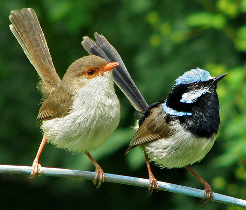 "Superb Fairy Wrens (photo by Scott Contini at ""Poor Man's Guide to Bird Photography"" online site."