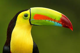 The Keel-billed Toucan: the national bird of Belize.